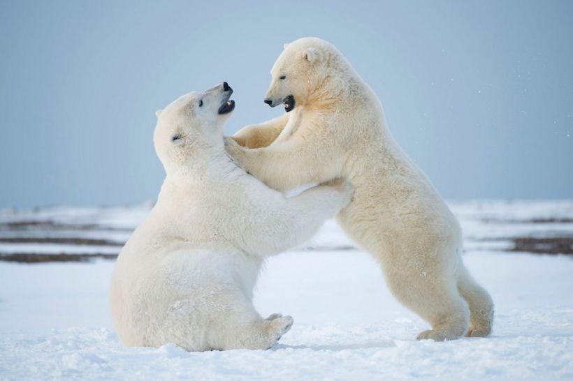 Playful-polar-bears