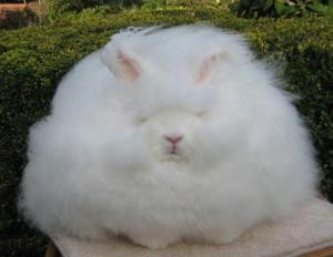 thỏ lông dài